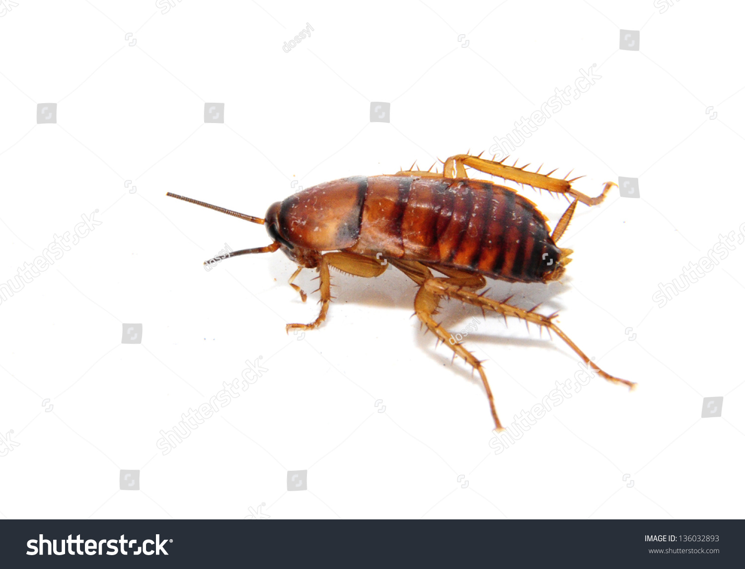 cockroach pictures Striped