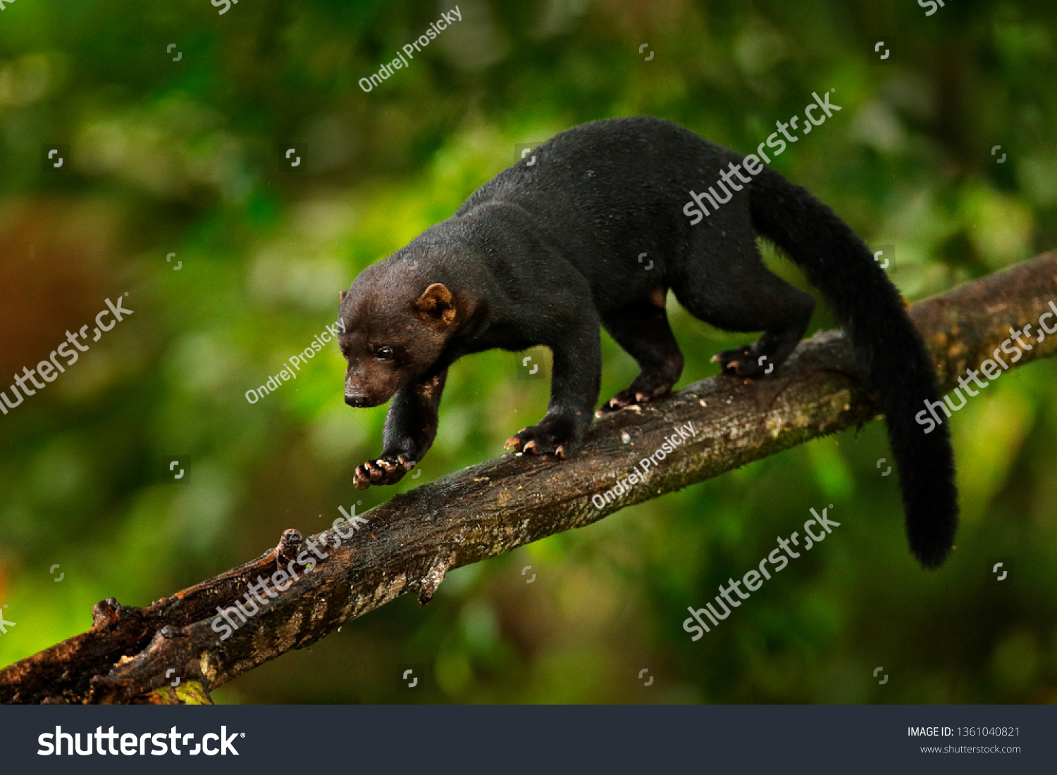 Tayra, Eira barbara, omnivorous animal from the weasel family. Tayra hidden in tropic forest, sitting on the green tree. Wildlife scene from nature, Costa Rica nature. Cute danger mammal in habitat.