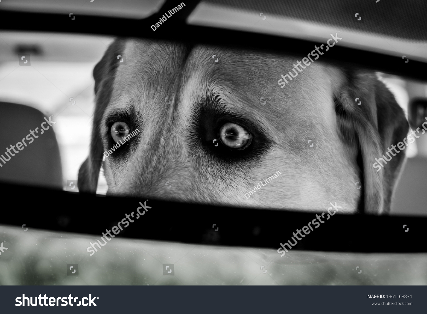 A yellow Labrador Retriever (Lab) with wide eyes concentrates intently on the road conditions ahead, as viewed in the rear view mirror of her car, in black and white.