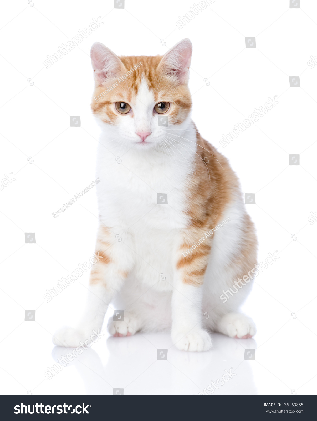 closeup orange cat looking at camera. isolated on white background ...