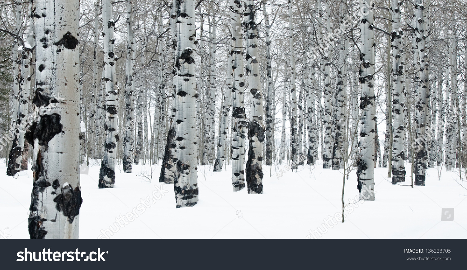 graphic view of aspen trees in winter snow covering the. Black Bedroom Furniture Sets. Home Design Ideas