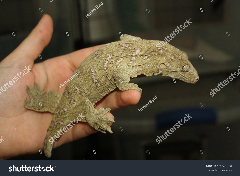 Leachie Pet Gecko Stock Photo Edit Now 1362469160