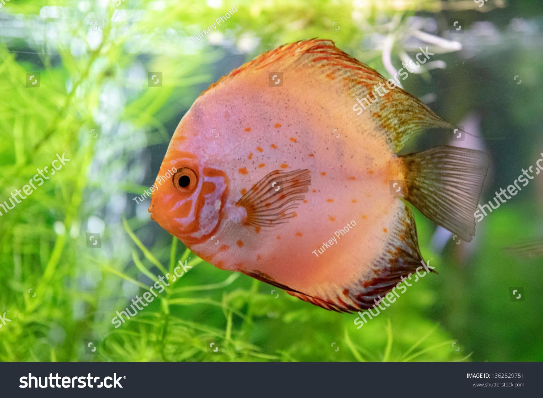stock-photo-discus-symphysodon-fishes-mu