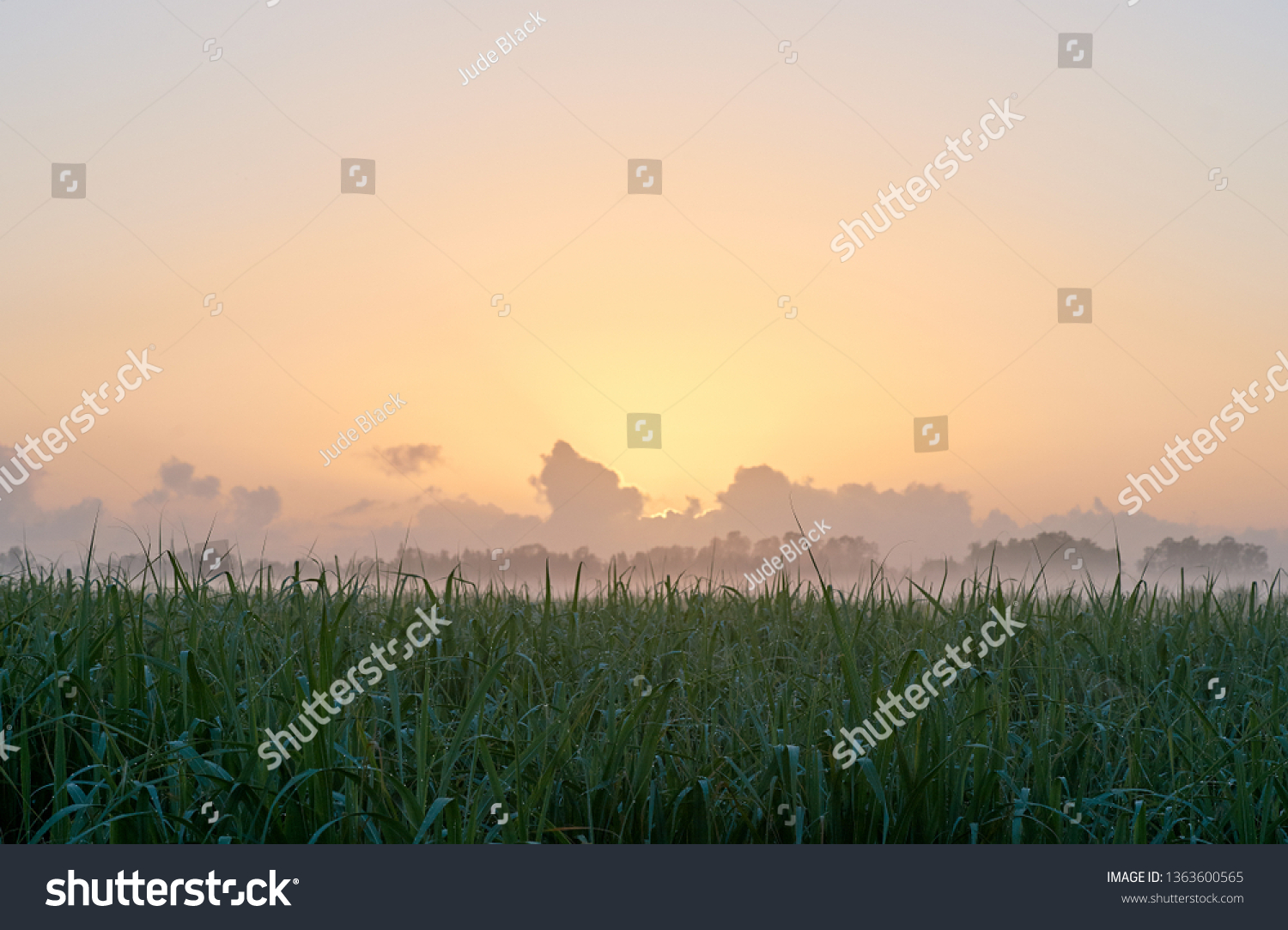 The dawn sun rising over a rural sugar cane farm, in the Clarence Valley of northern NSW, Australia. The dew laden cane in the foreground, and mist and clouds in the distance on the horizon.