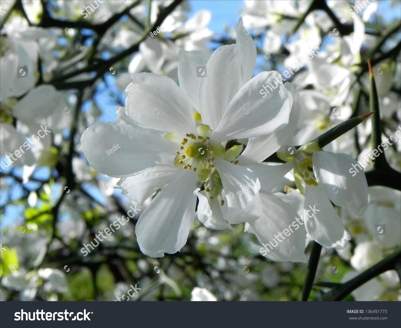 Gentle White Flower Hidden In The Bush With Thornssleeping Beauty
