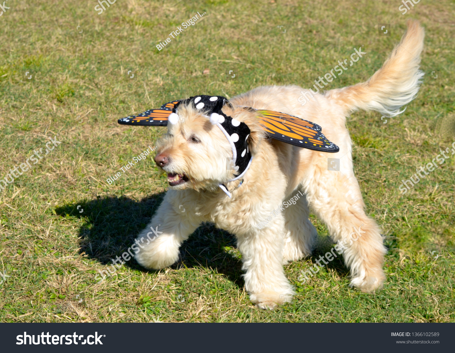 Golden Retriever Puppy Wearing Butterfly Costume Stock Photo Edit Now 1366102589