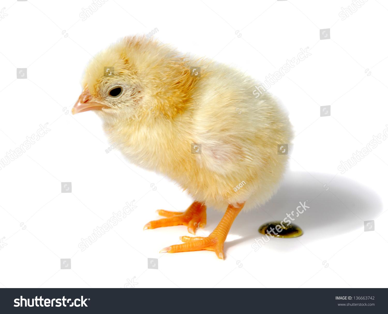 stock-photo-baby-chicken-shit-white-back