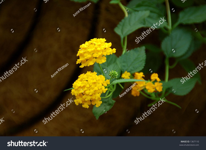Lantana Verbenaceae Lantana Camara Beautiful Poisonous Stock Photo