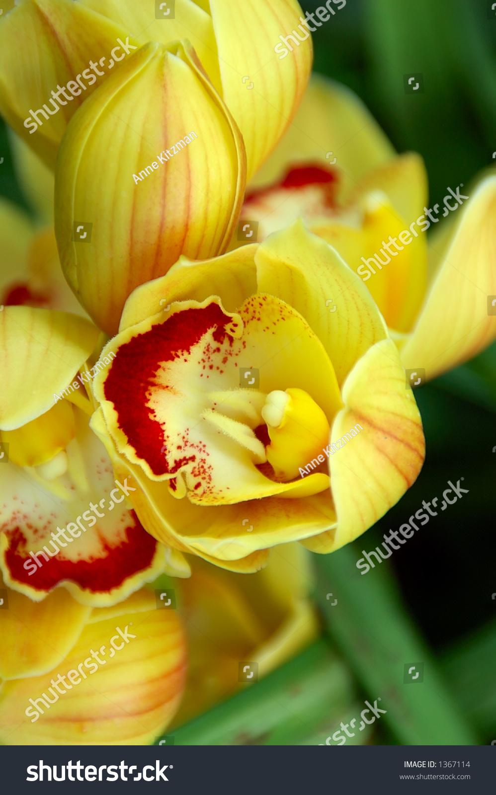 Yellow Lady Slipper Orchid Beautiful Yellow Stock Photo Edit Now