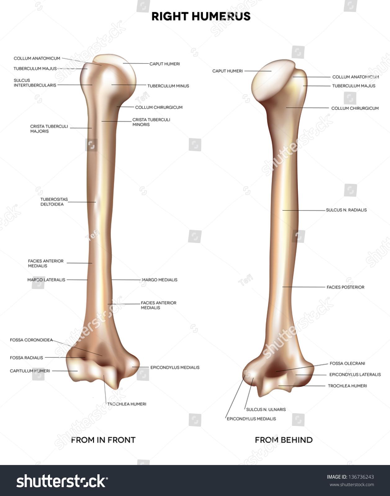 humerus upper arm bone detailed medical stock vector (royalty free