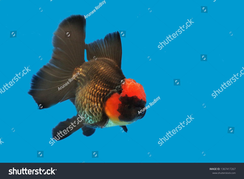 Colorful Goldfish Carassius Auratus On Isolated Stock Photo (Edit