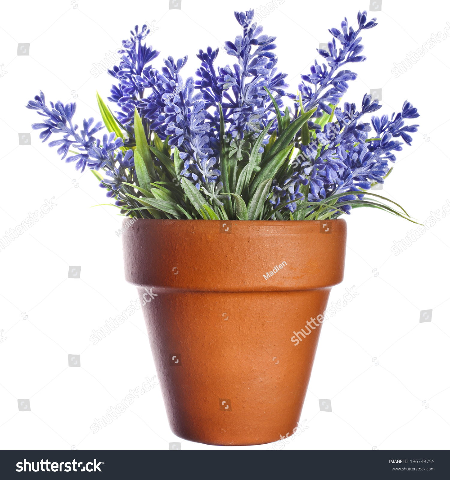 Lavender plant pottery clay terracotta pot stock photo 136743755 shutterstock - Growing lavender pot ...