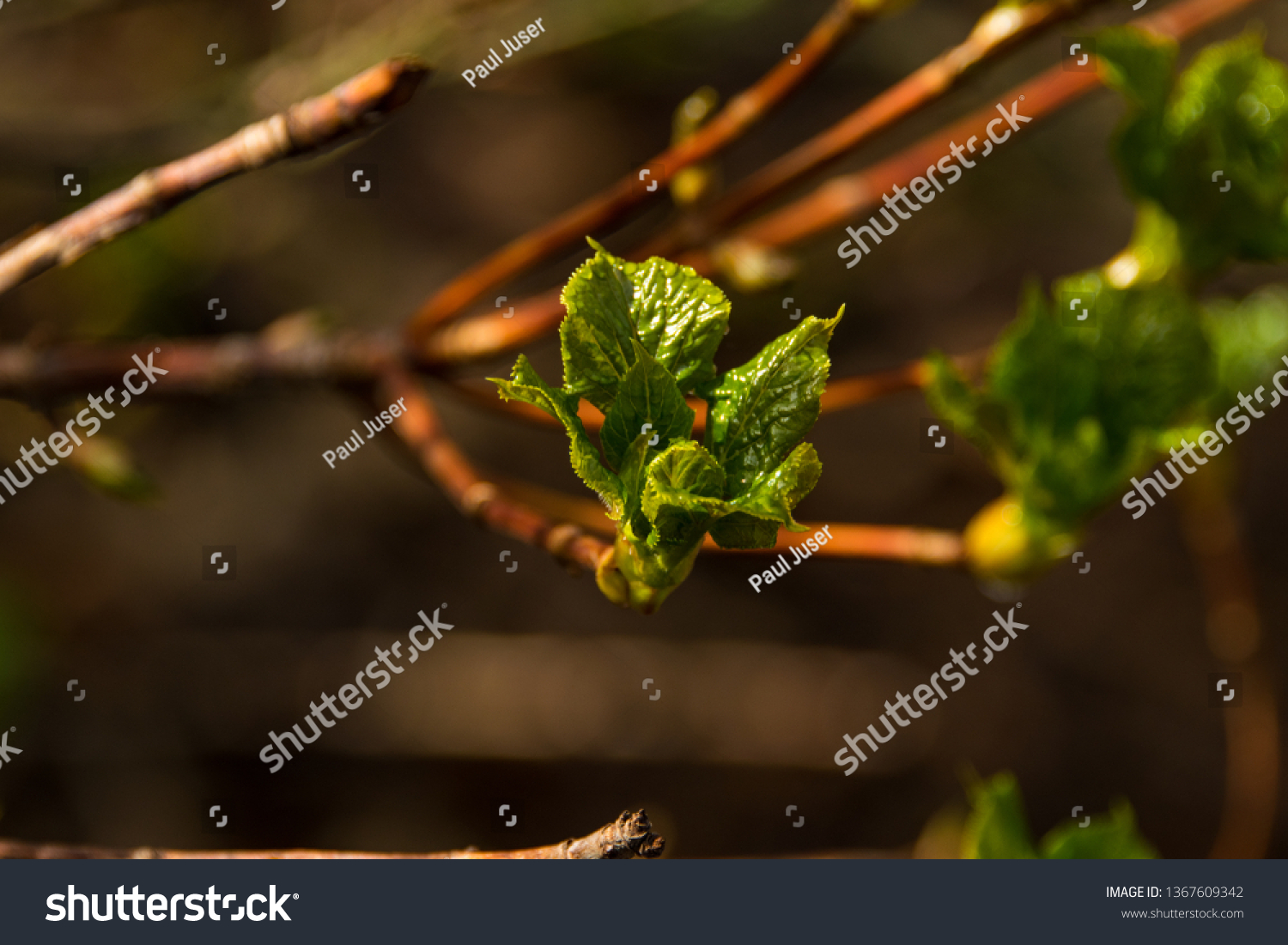 Closeup Green Tree Leaves Opening First Stock Image Download Now