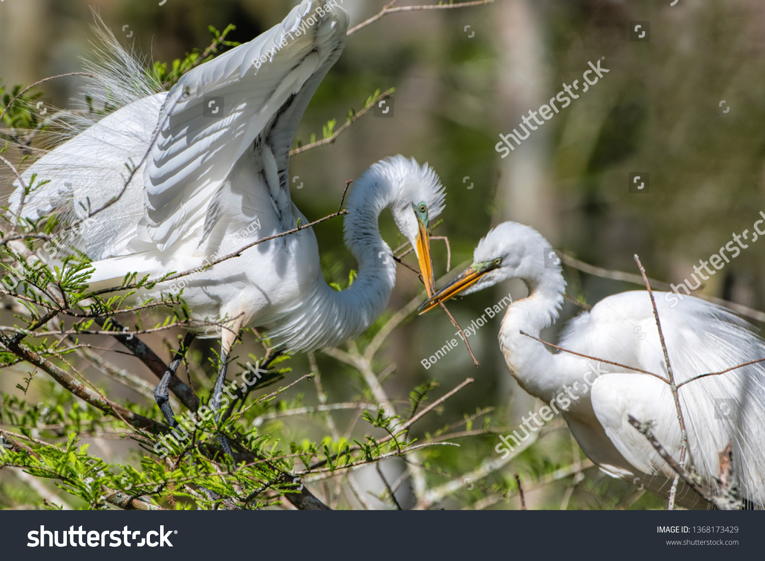 Great White Egret Pair With Sticks in Beaks as They Build Spring Nest  #1368173429