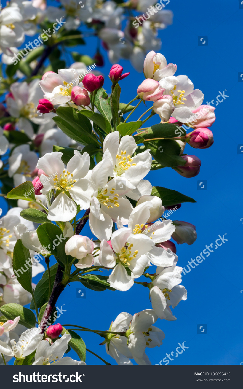 Dazzling White Flower Blossoms Pink Unopened Stock Photo Edit Now