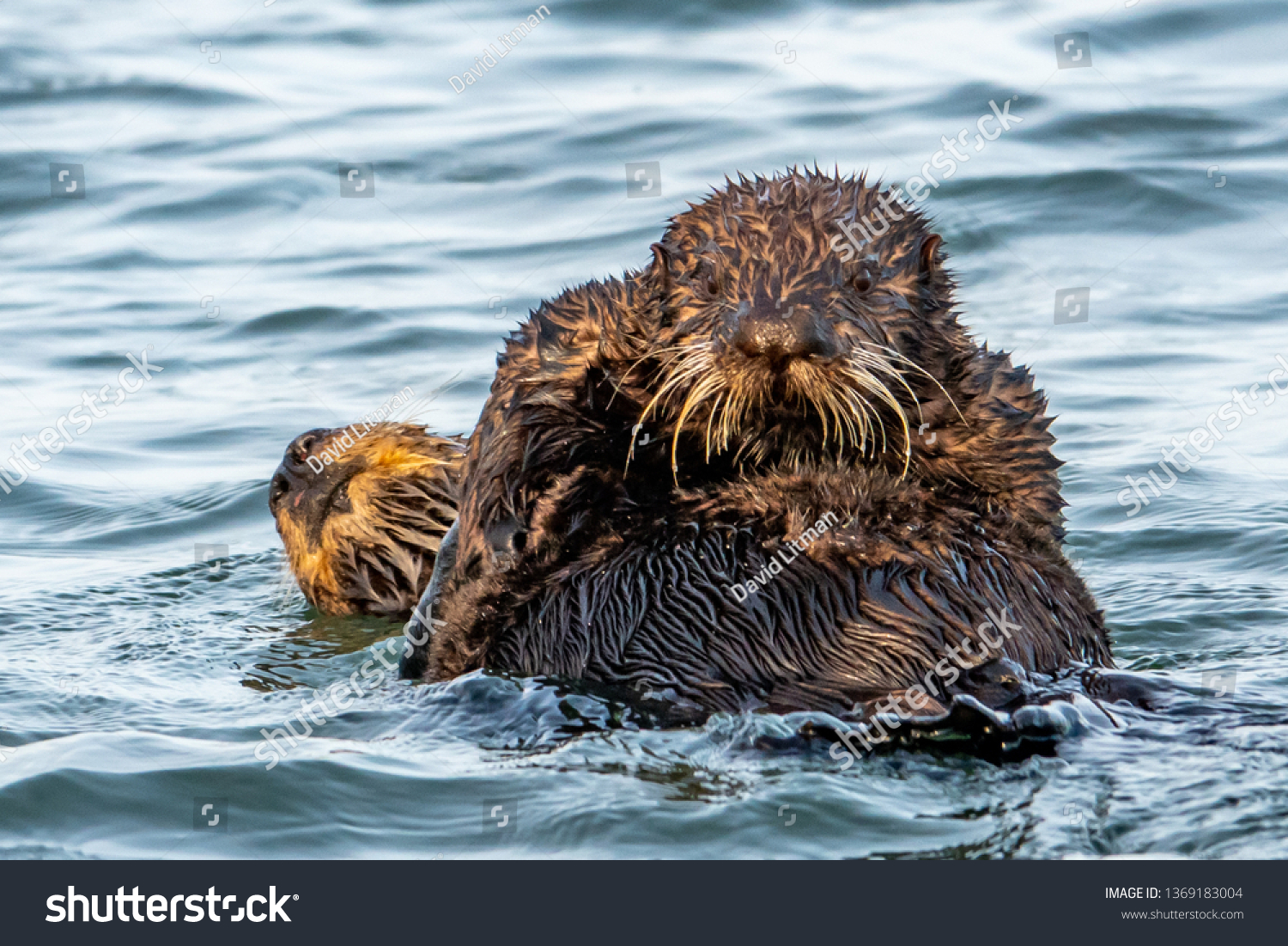 Sea Otter pups wean between the ages of 6 months to 1 year.  This relatively large weaning age pup has yet to leave mother