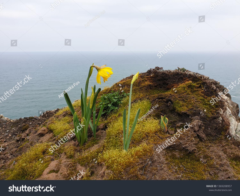 stock-photo-springtime-wild-daffodils-na