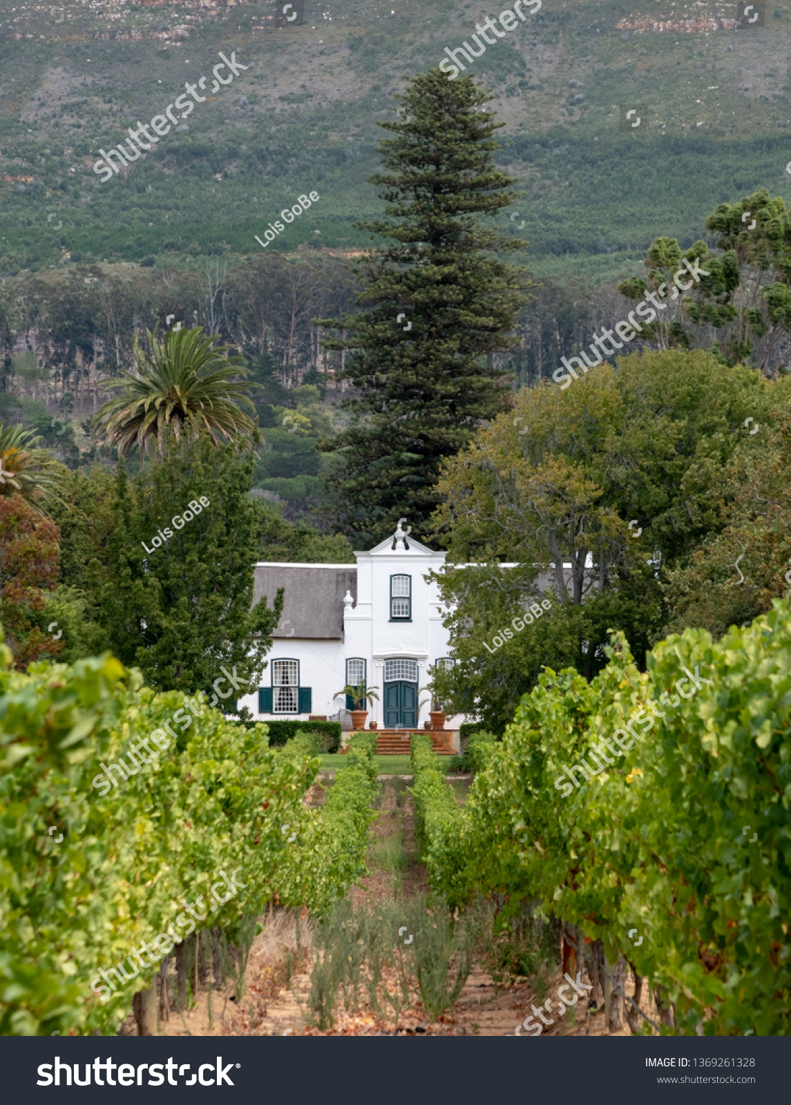 Cape Dutch style farm building at Groot Constantia, Cape Town, South Africa, with vineyard in the foreground and mountains in the background.  #1369261328
