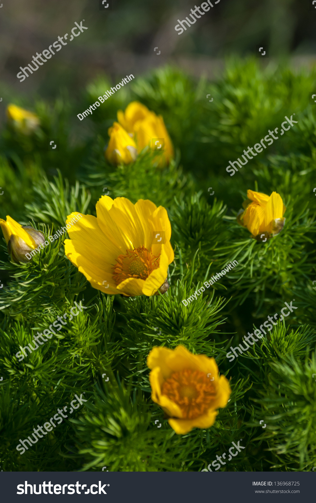 Yellow Flowers Bushes Adonis Meadow On Stock Photo Safe To Use