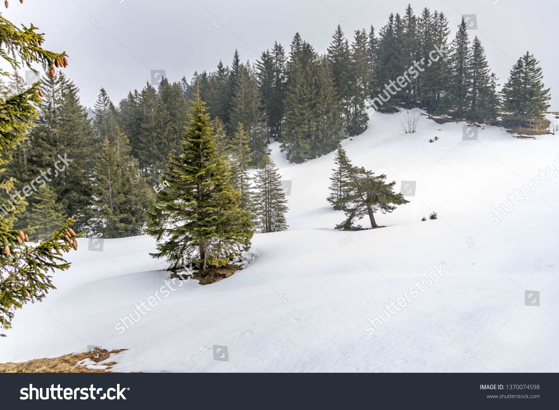 Evergreen Trees Snowy Landscape Sattelhochstuckli Switzerland Stock Photo Edit Now 1370074598