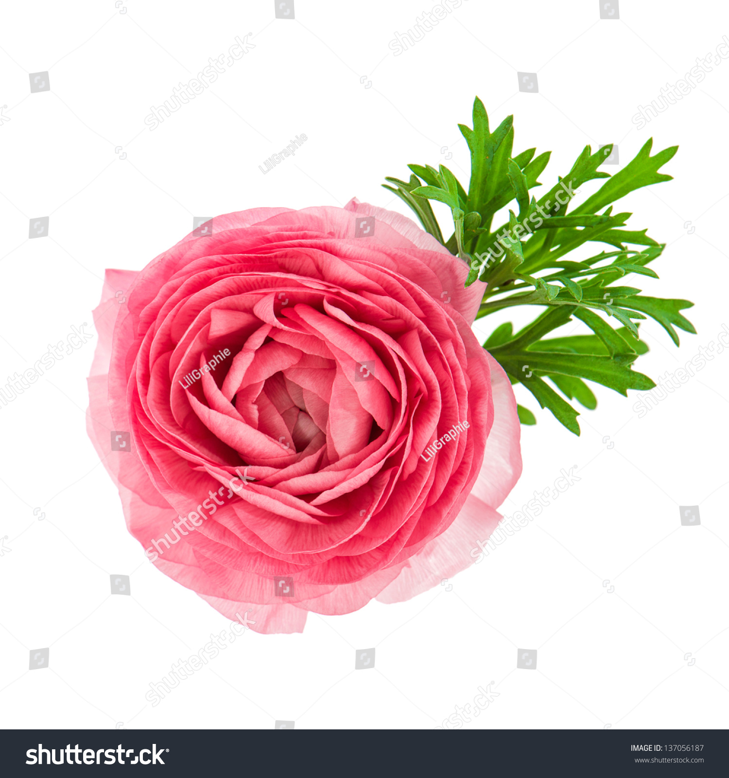 Beautiful Single Flower Head Pink Ranunculus Stock Photo Edit Now