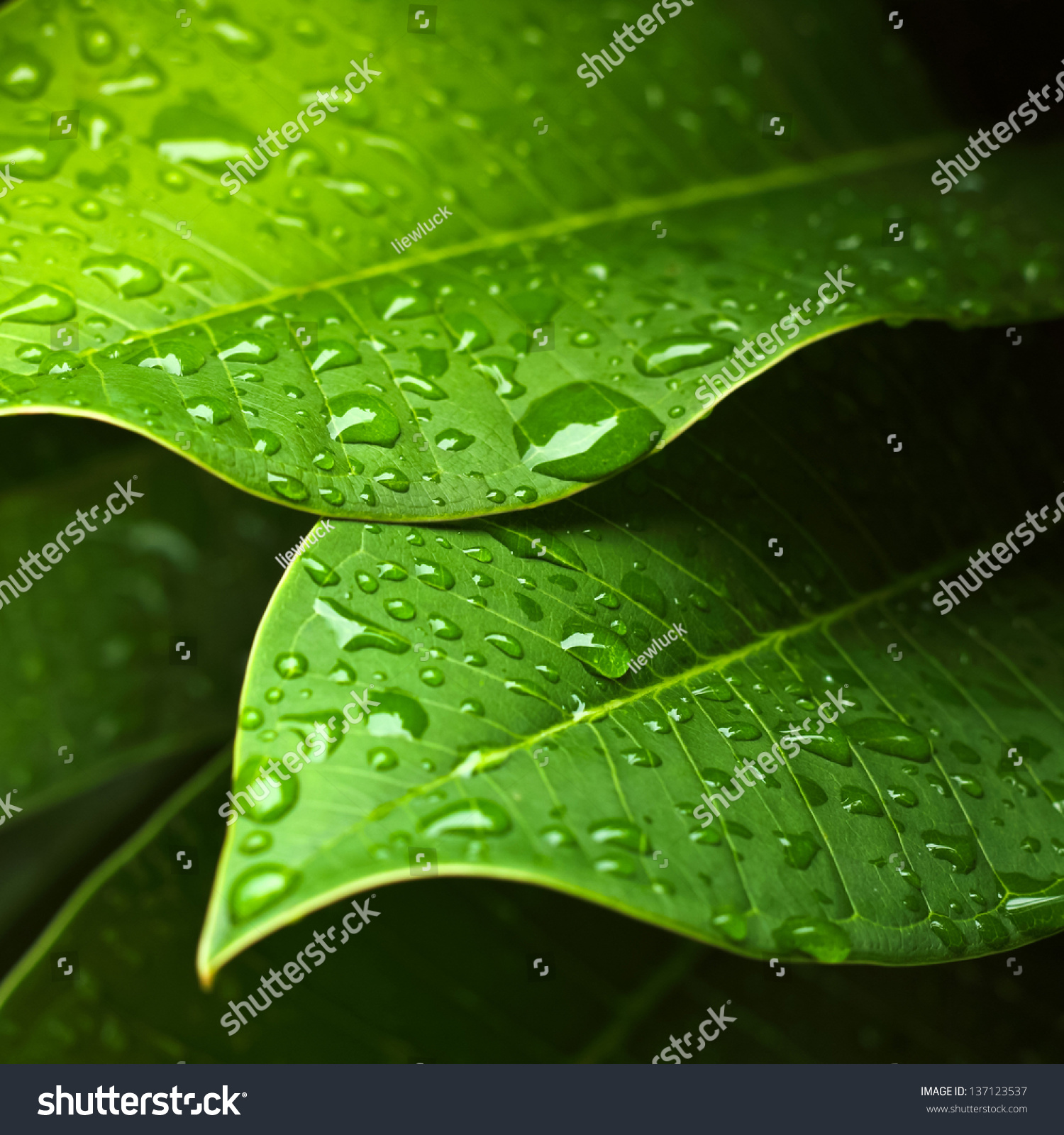 Green Leaf Water Drops Background Stock Photo 137123537