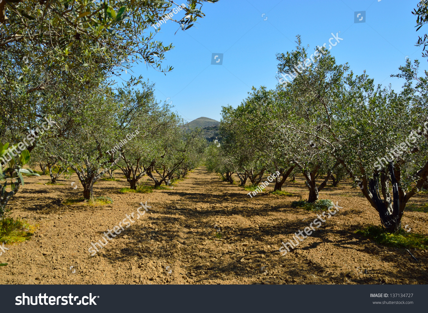 Olive branches on foreground. Olive plantation | EZ Canvas