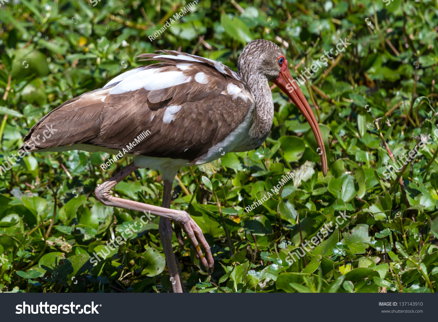 Closeup shot wild long legged ibis stock photo 137143910 shutterstock a closeup shot of a wild long legged ibis bird hunting for a fish in the buycottarizona Choice Image