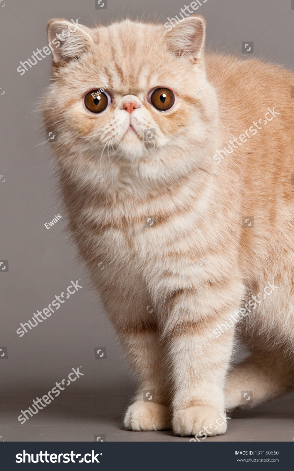 Exotic Shorthair Cat Persian Cat Stock