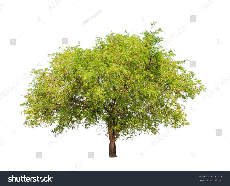 tamarind tree tamarindus indica tropical tree stock photo, Beautiful flower