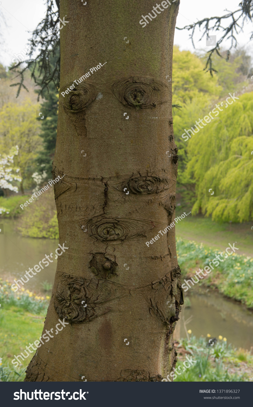 Gnarled Trunk Spanish Fir Tree Abies Stock Photo Edit Now 1371896327