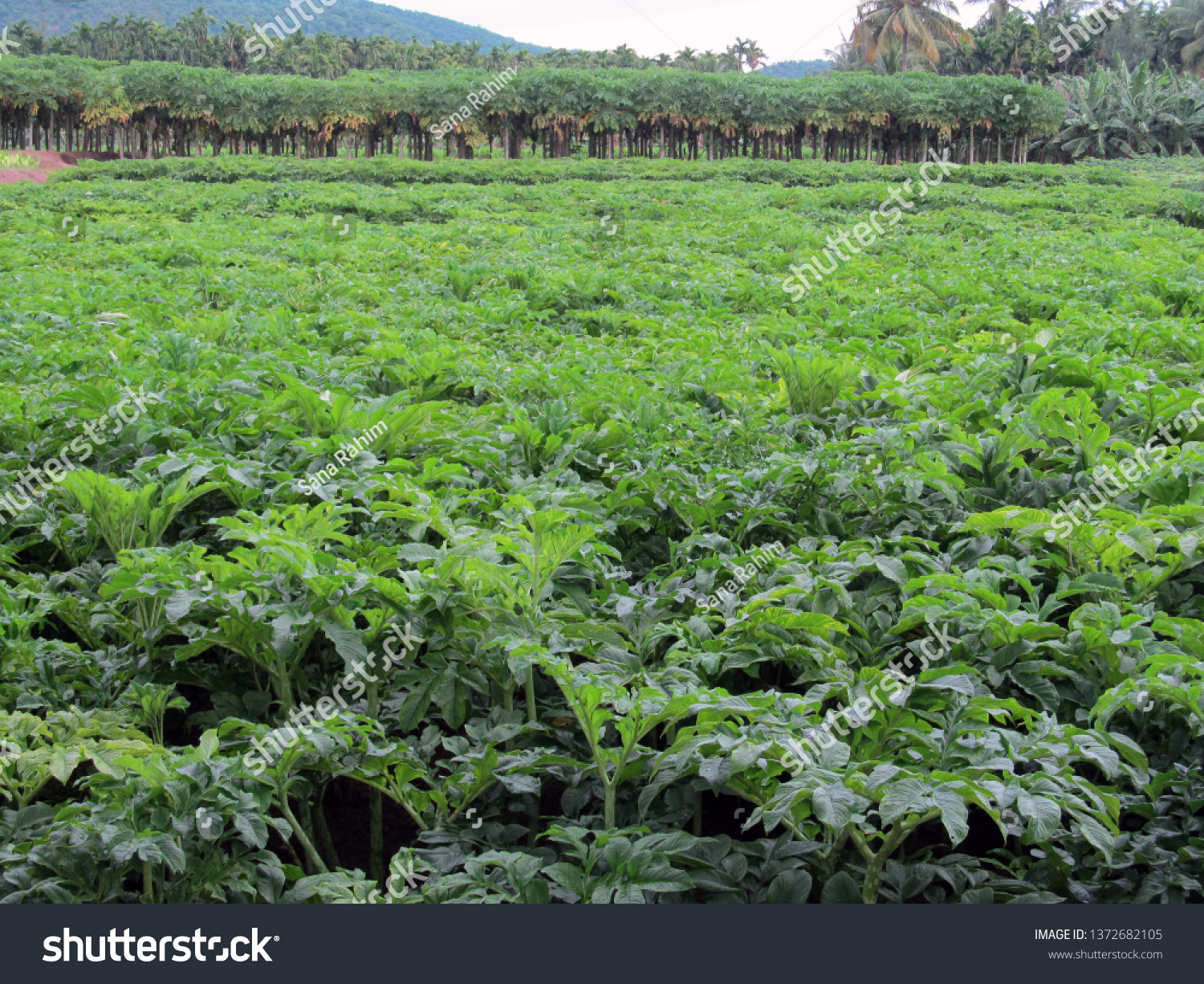 Elephant Foot Yam Cultivation Stock Photo Edit Now 1372682105