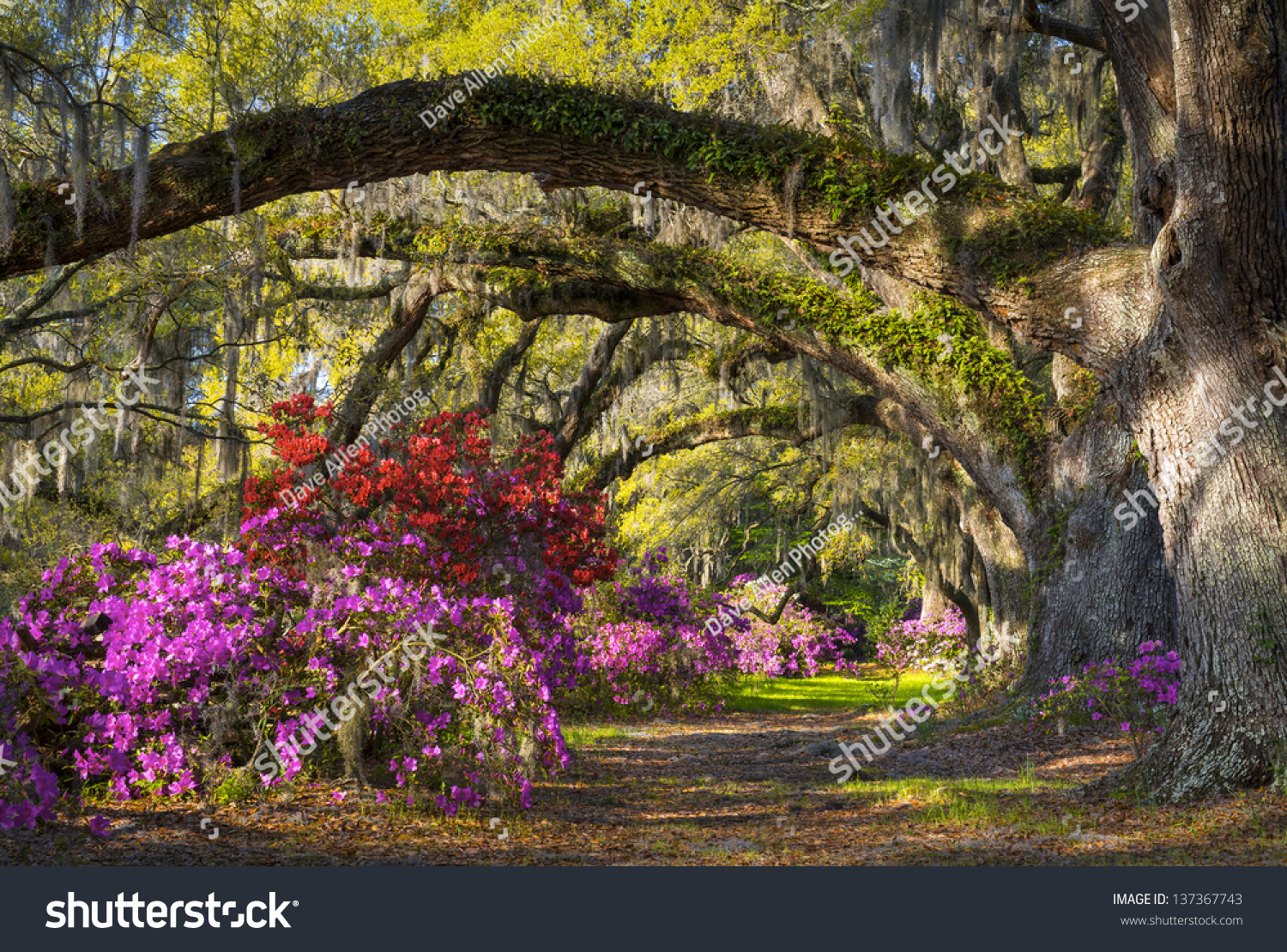 Charleston SC Spring Bloom Azalea Flowers Stock Photo (Edit Now ...