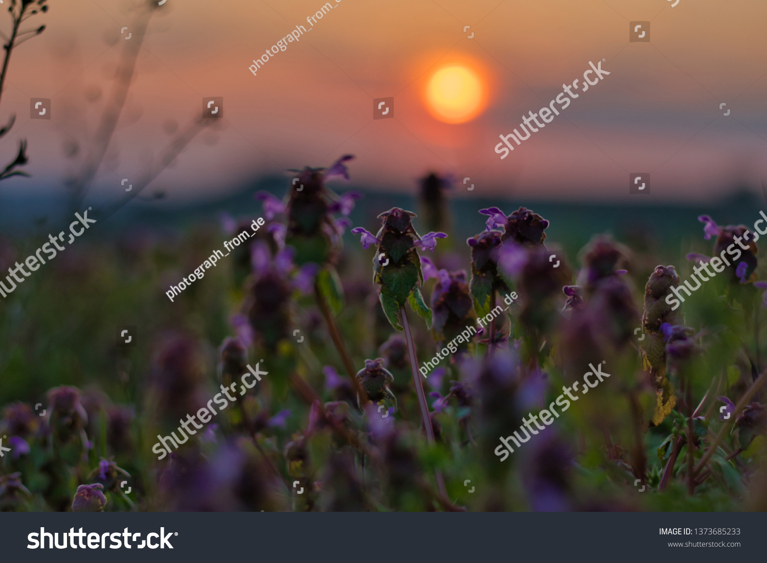 Sunset Field Purple Flowers Stock Photo Edit Now 1373685233