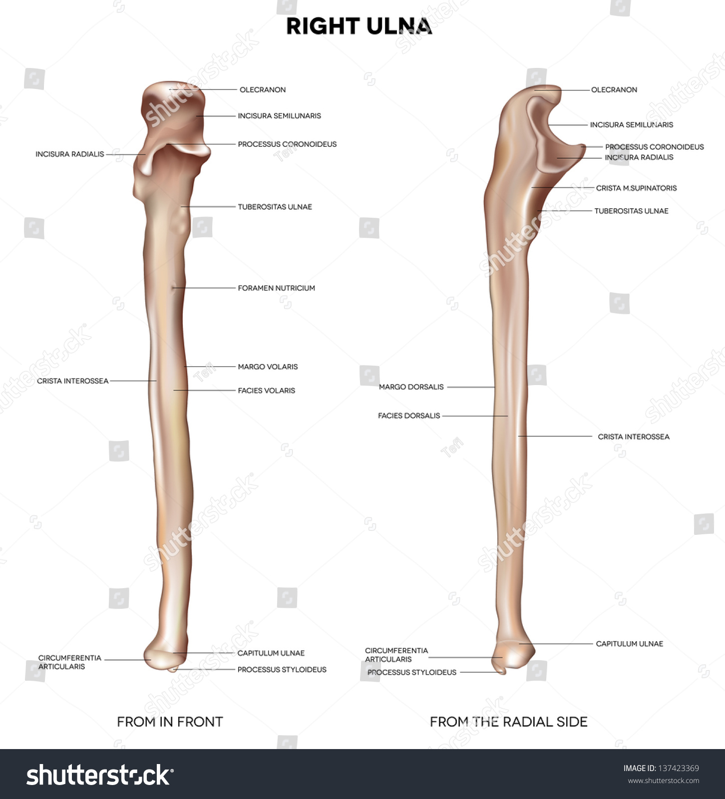 Ulna Detailed Medical Illustration Front Radial Stock Vector ...