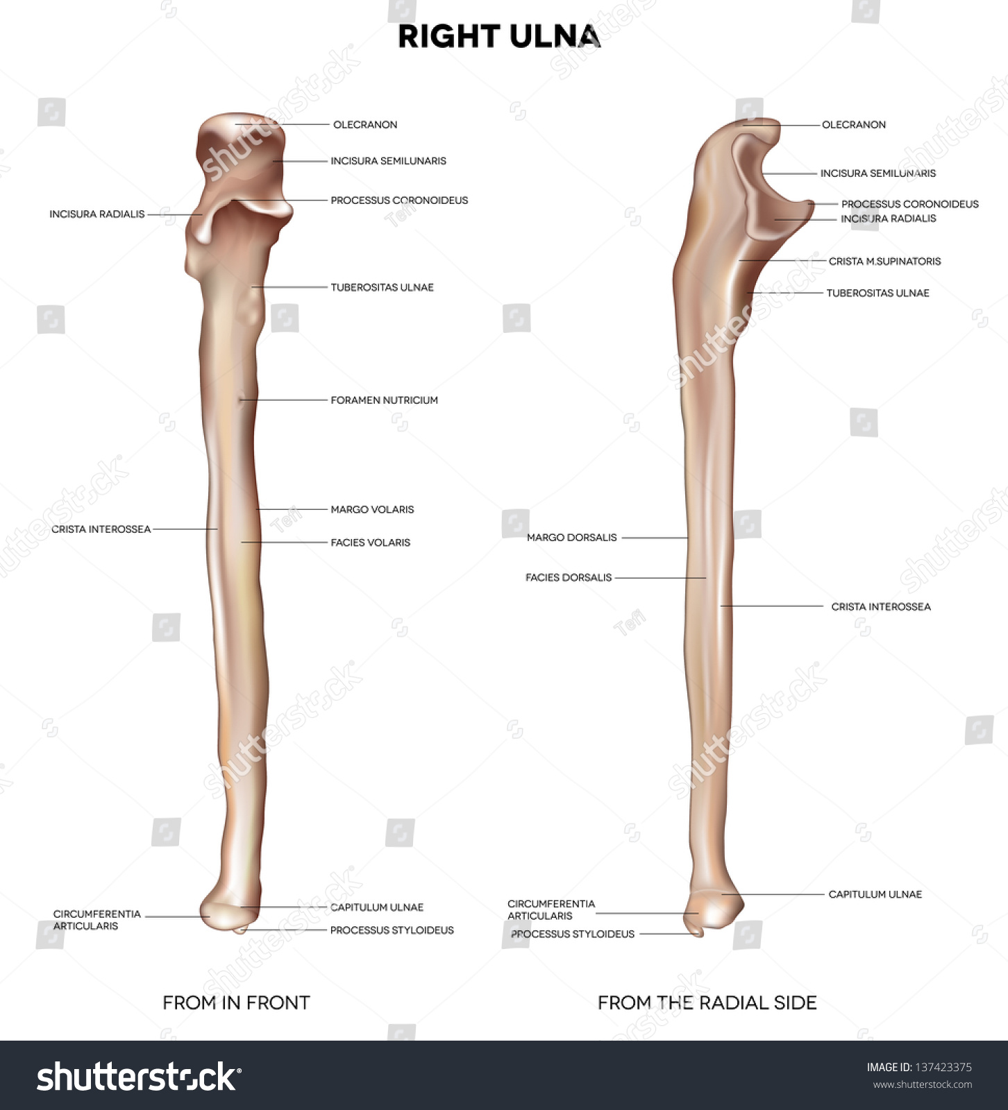 Stock Photo Ulna Detailed Medical Illustration From In Front And The Radial Side Latin Medical Terms