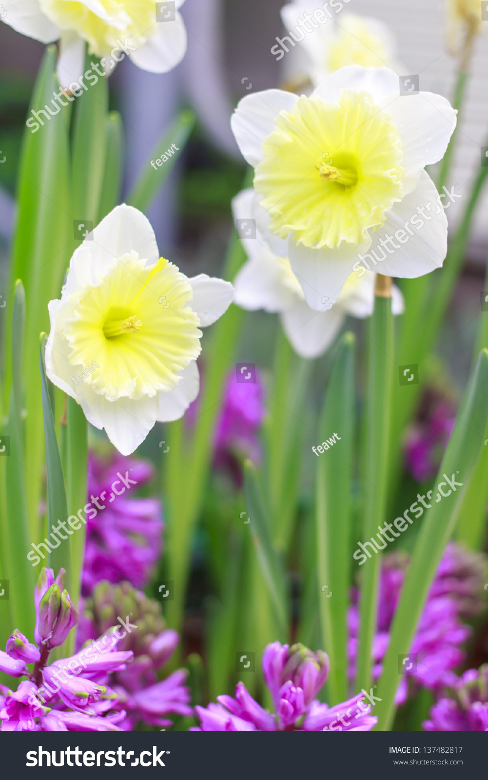 White Yellow Narcissus Flower Various Common Stock Photo Edit Now