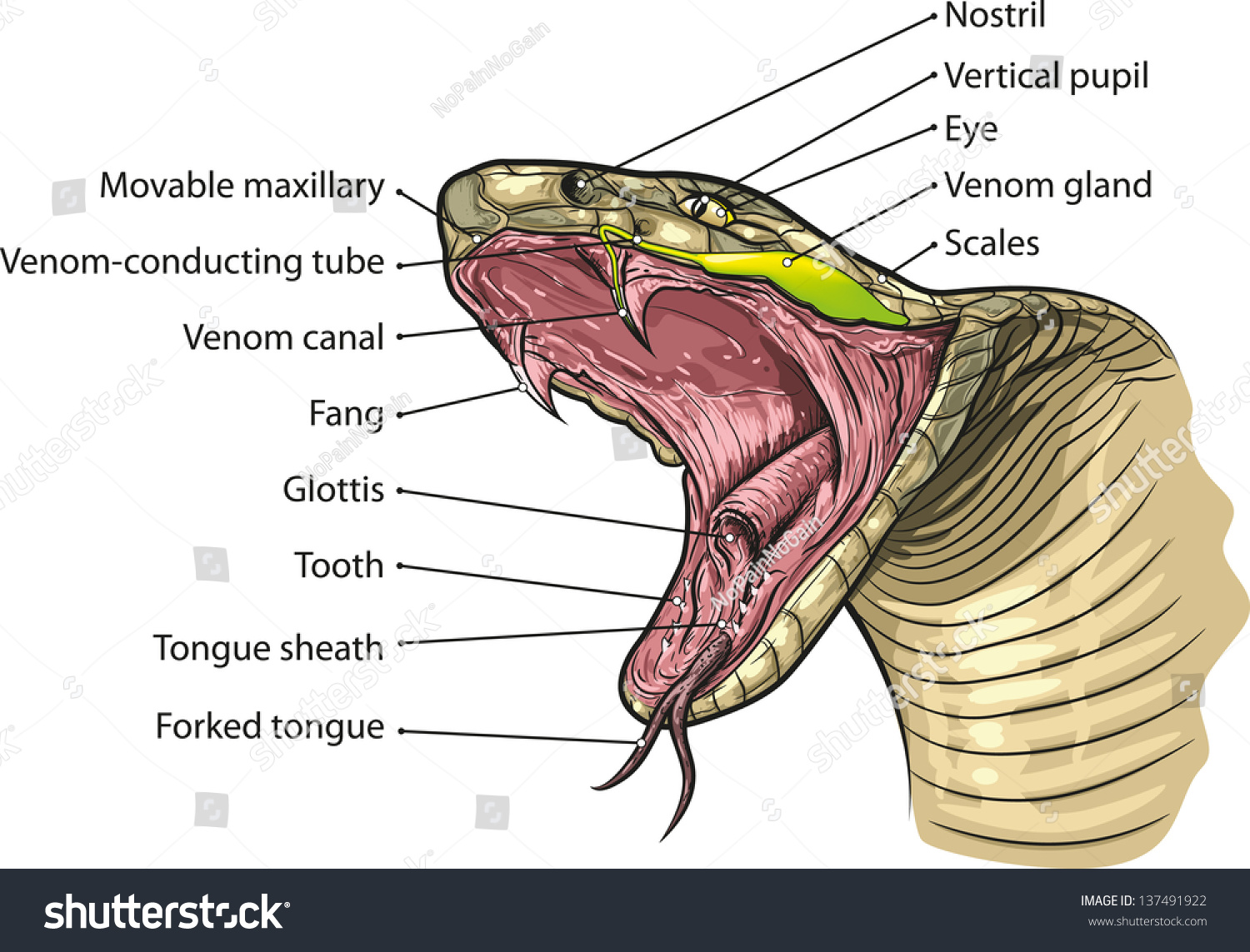 Diagram Of A Snakes Mouth Wiring And Ebooks Gallery Images Information Snake Skeleton Anatomy Stock Vector Royalty Free 137491922 Shutterstock Rh Com Toung
