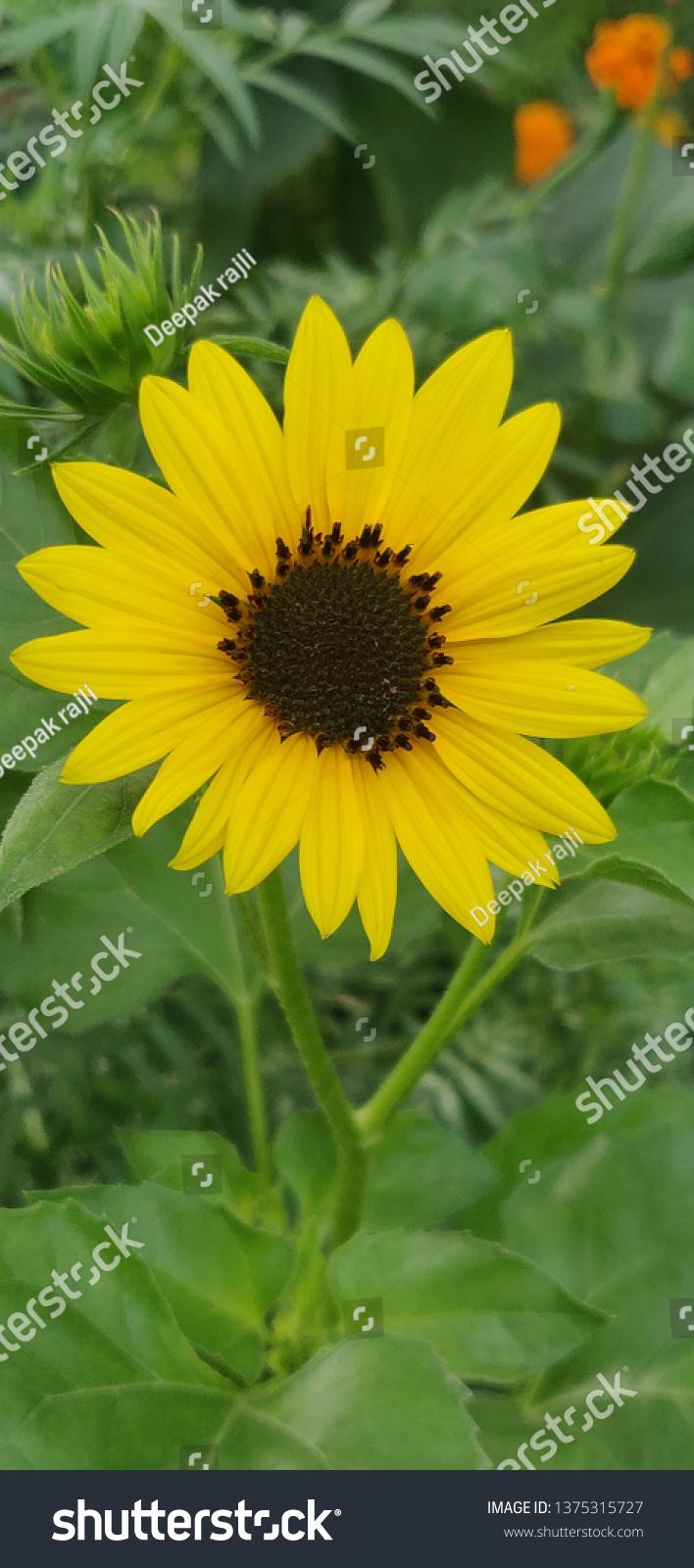 Good Morning Sun Flower Stock Photo Edit Now 1375315727