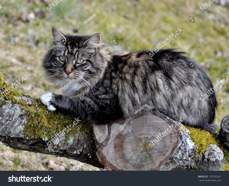 Norwegian Forest Cat R...