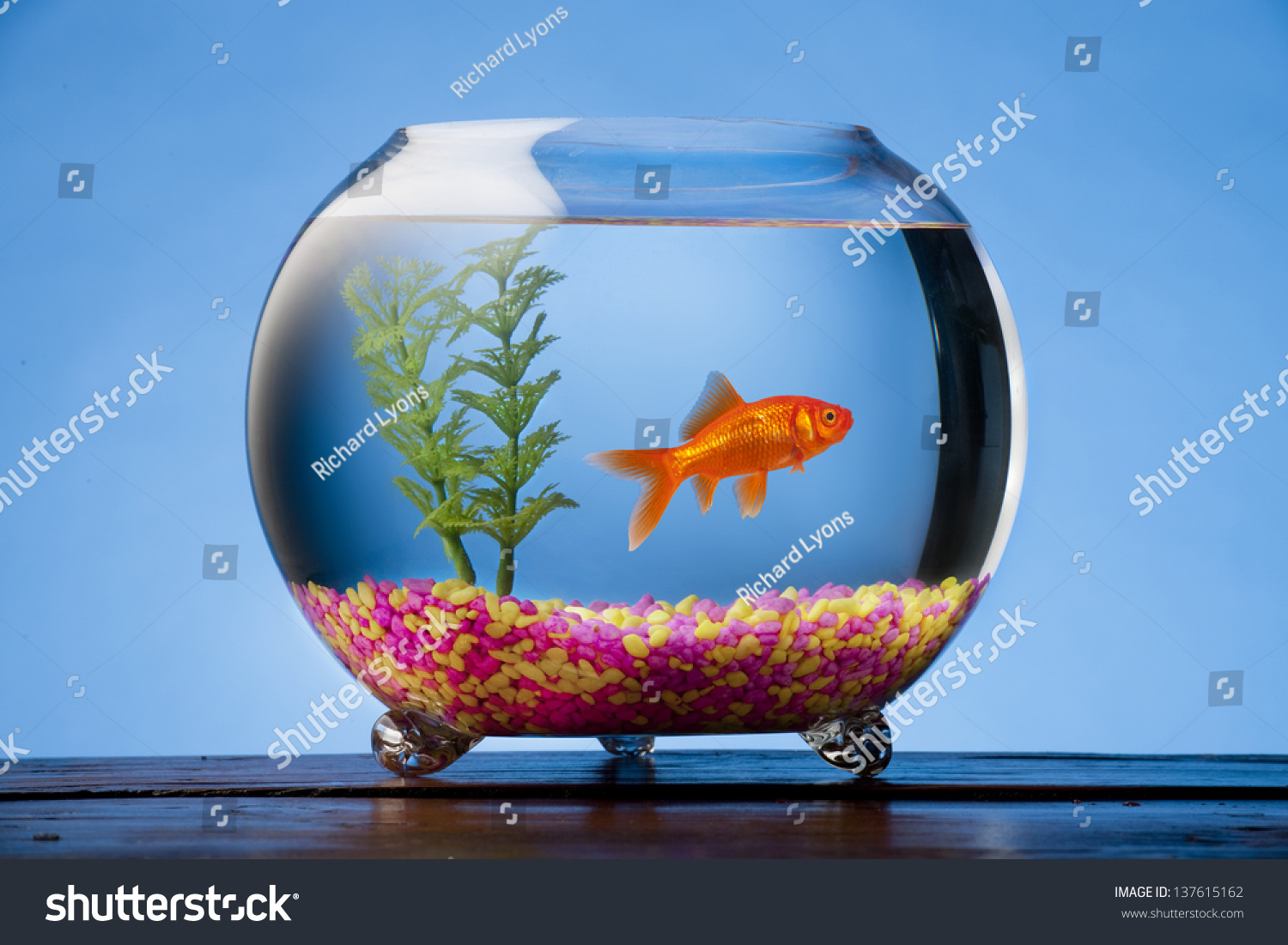 Goldfish in a beautiful round goldfish bowl with colored for Fish bowl with plant on top