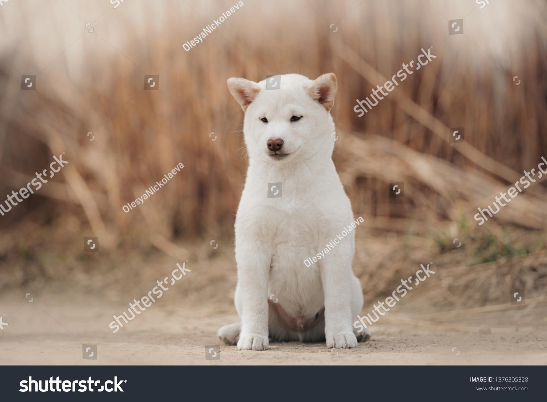 Portrait White Cream Puppy Shiba Inu Stock Photo Edit Now 1376305328
