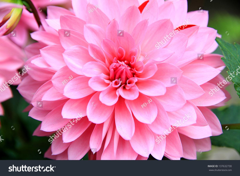 Pink dahlia flower stock photo edit now 137632730 shutterstock pink dahlia flower izmirmasajfo