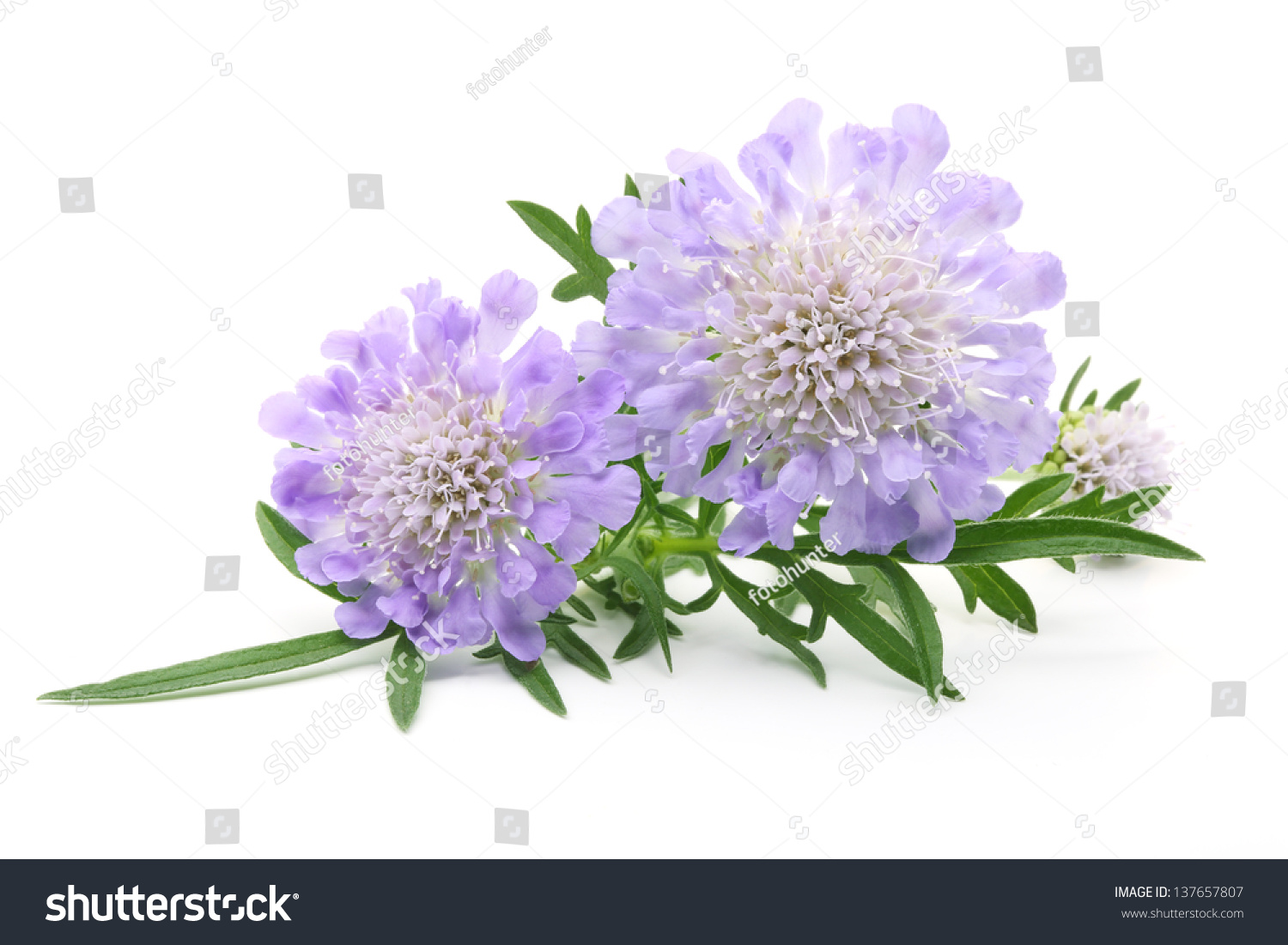 Bouquet Of Pincushion Flowers In A White Background Ez Canvas