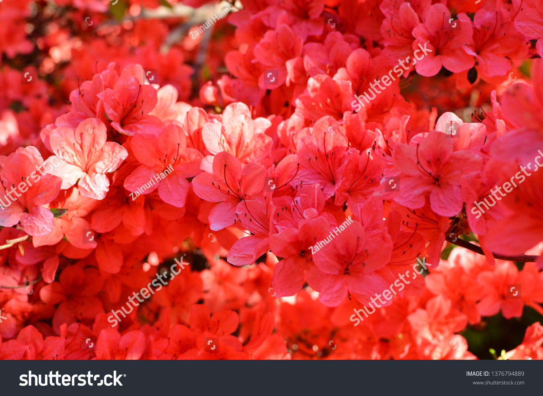 Stewartstonian Azalea Early Spring Flowering Shrubs Stock Photo