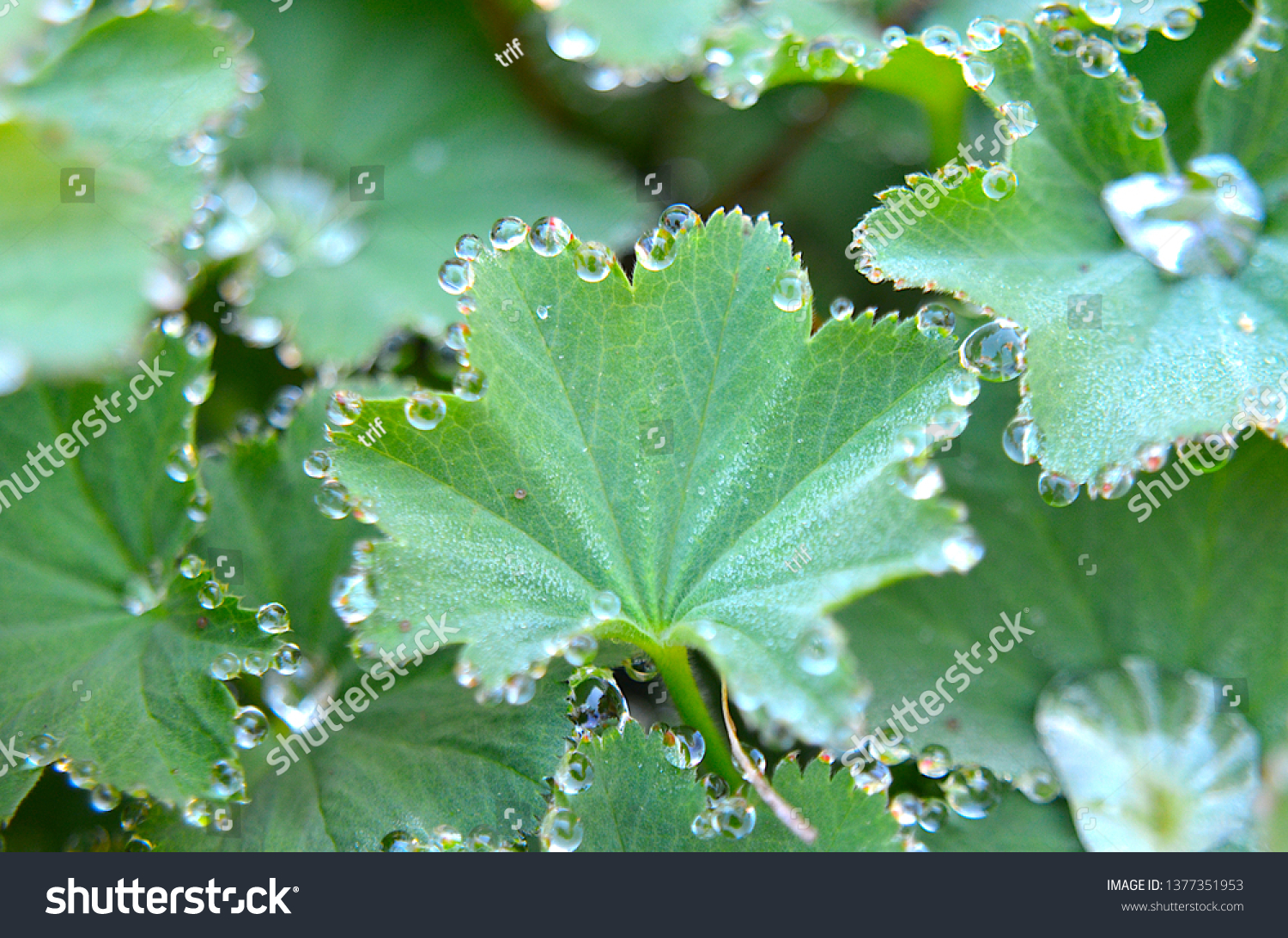 Alchemilla vulgaris (common lady's mantle) leafs with sparkling dew droplets, often used in herbal medicine, especially to cure gynecological problems #1377351953