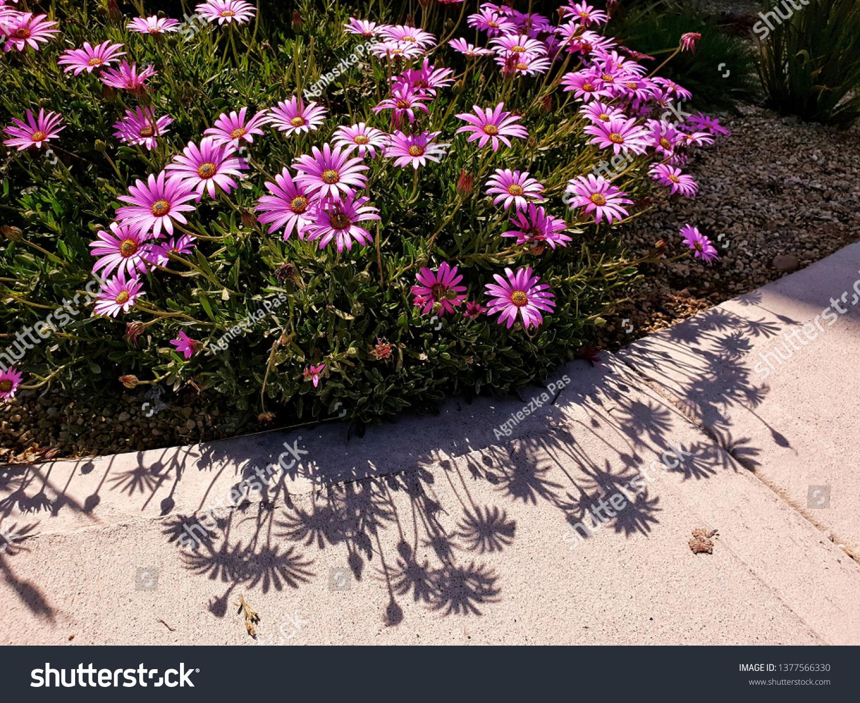 stock-photo-purple-daisy-flowers-osteosp