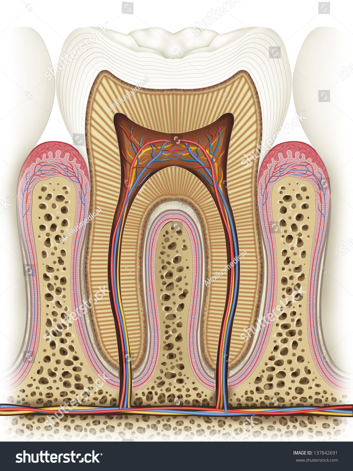 Illustration Anatomy Structure Tooth Stock Illustration 137842691 ...