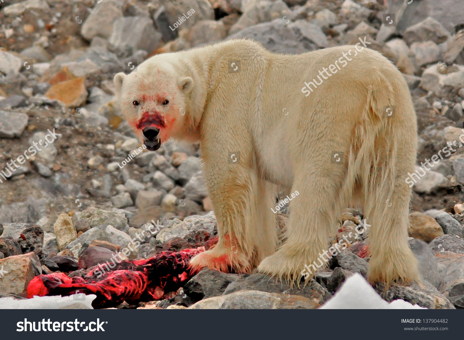 polar bear thesis Polar bear evolution is a continuing story the polar bear, the largest land carnivore in north america, one of the largest animals in the world and a favorite at zoos worldwide, has, over the years, adapted to its harsh arctic environment.
