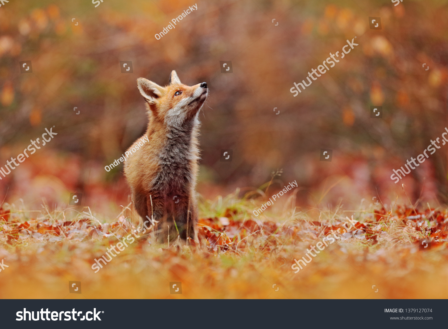 Cute Red Fox, Vulpes vulpes in fall forest. Beautiful animal in the nature habitat. Wildlife scene from the wild nature, Germany, Europe. Cute animal in habitat. Red fox running on orange autumn leave #1379127074